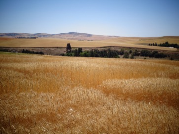 Gold Of The Palouse